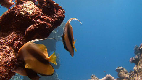Diving in the Red sea near Egypt. Bannerfish to keep as a rule in pairs Live Action