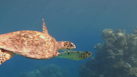 Diving in the Red sea near Egypt. The Hawksbill turtle hovering over a coral ree Footage