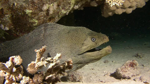 Diving in the Red sea near Egypt. Mysterious night dives. Angry giant Moray eel Footage