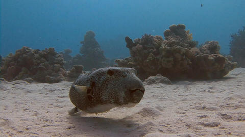 Diving in the Red sea near Egypt. Very slow fish arothron Live Action