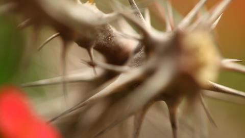 Macro succulent thorns Footage
