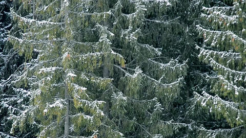 Heavy snow falls on background of big evergreen fir trees Footage