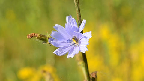 Bee on chicory flower collects pollen and flies away Footage
