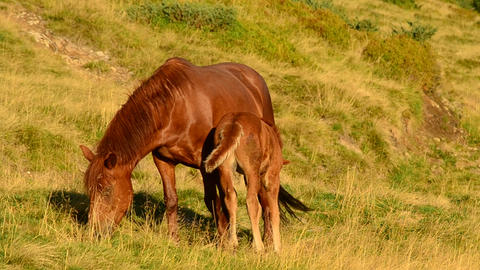 Foal feeds from brown mare on pasture Archivo