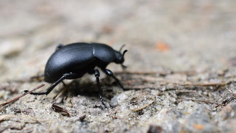Black carabus beetle in natural environment Footage