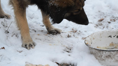 Hungry dog eating in winter on snow Live Action