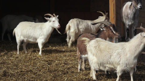 Group goats (Capra hircus),animal group Live Action