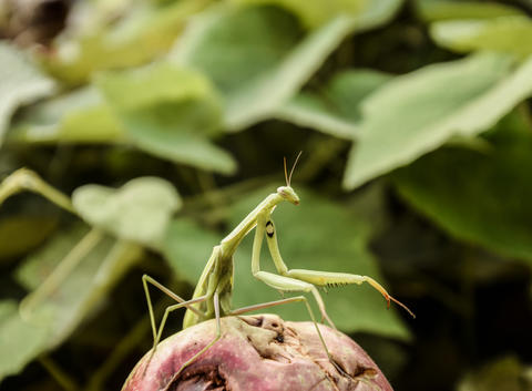 The male praying mantis on the apple. Mantis looking for prey. Mantis insect Photo