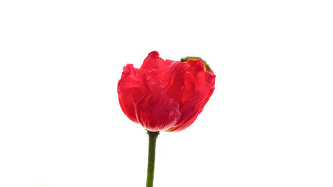 Time lapse of opening poppy flower on pure white background Footage