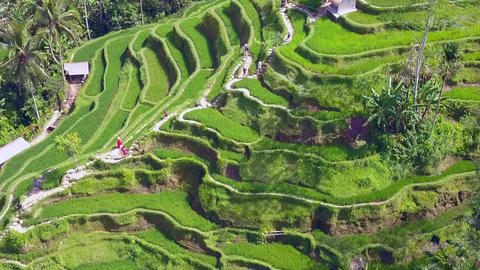 pull away tilt down aerial on Bali rice terrace landscape Footage