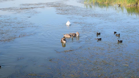 Grey cygnets with white mute swan parent and many coot birds on water Footage