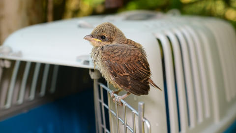 Whitethroat fledgling perching on door of plastic cage Footage