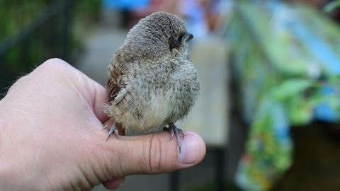 Cute whitethroat fledgeling perching on human hand outdoors Footage