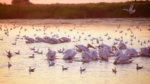 Group of pelicans fishing and hunting together in water at dawn Footage