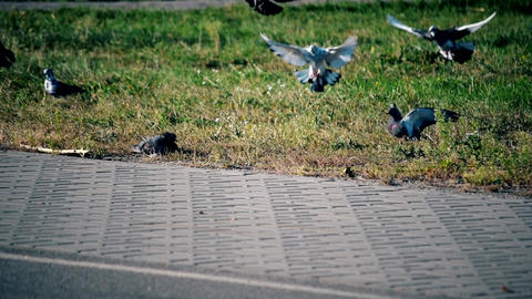 Many pigeons alight onto lawn near pavement Footage