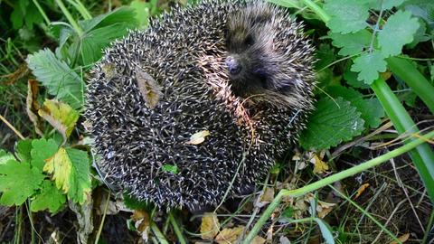 European hedgehog unrolls from a ball Footage