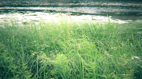 Green sedge, reed, grass swaying near river or lake Footage