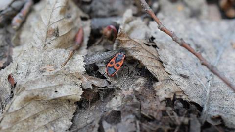 Single firebug in forest. Closeup macro Footage