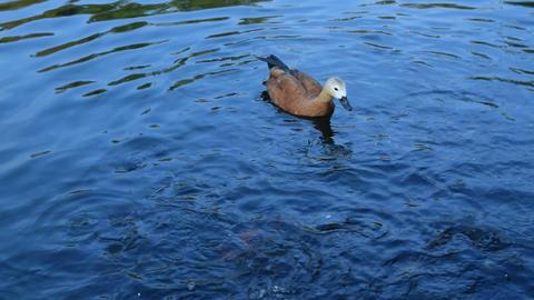One ruddy shelduck swims in pond Footage