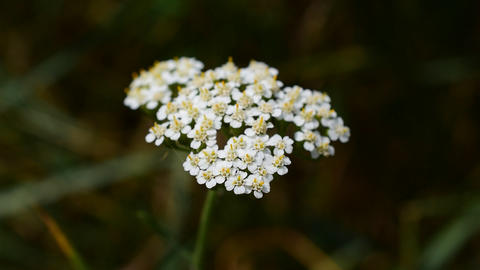 Yarrow with a tiny insect on it Footage