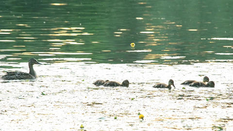 Cute mother duck with a flock of ducklings in pond Footage