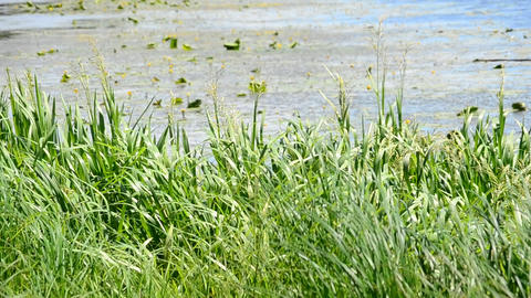 Vibrant green sedge, reed and grass swaying in wind on background of river or Footage