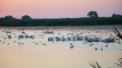 Many great white pelicans forage on water at dawn surrounded by many seagulls in Live Action