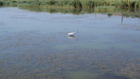 Great egret hunting and trying to catch a prey in water Footage