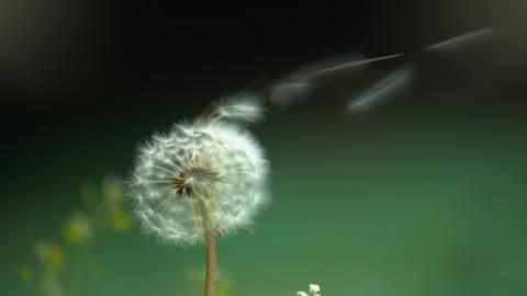 Slowmotion video - Dandelion fluff blown by the wind Image