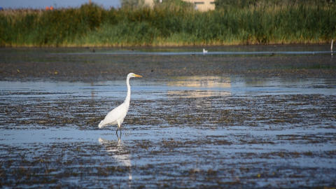 Great egret wading slowly in a lake in summer Footage