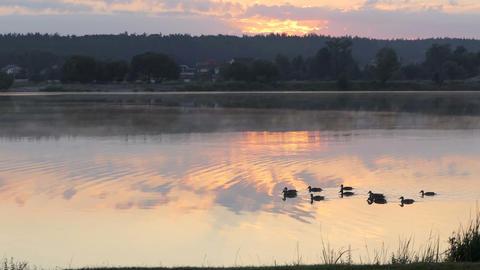 A dozen of black ducks swim in a lake at sunset in slo-mo Archivo