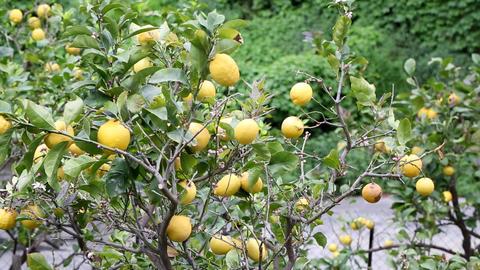 Lemon Tree in Cinque Terre, Italy ビデオ