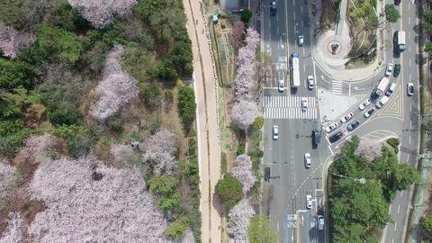 Cherry Brossom Spring Road of Haeundae 04 Footage