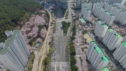 Cherry Brossom Spring Road of Haeundae 02 Footage