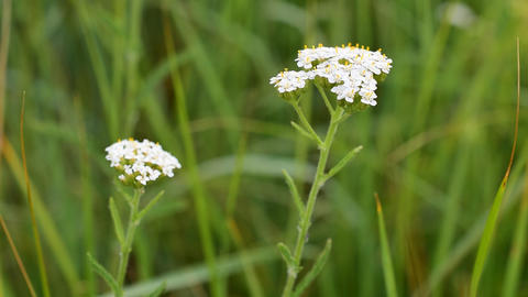 Flowering yarrow plant. Milfoil or common yarrow, medicinal herb Footage