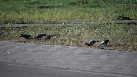Pigeons foraging on the lawn near pavement Footage