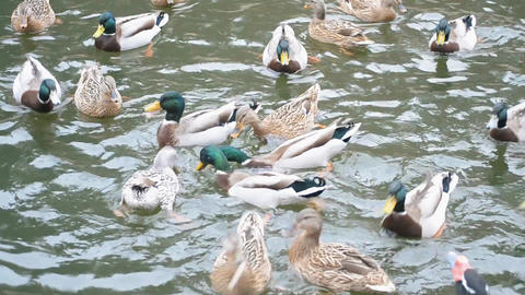 Flock of many mallards swimming quickly in a pond Footage