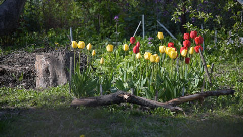Flower bed with red, yellow tulip flowers and green grass Footage