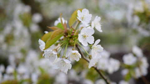 Blooming bunch of white cherry tree flowers Footage