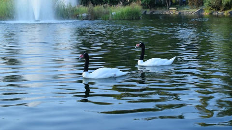 Thow gracious black necked swans and ruddy shelducks in pond Footage