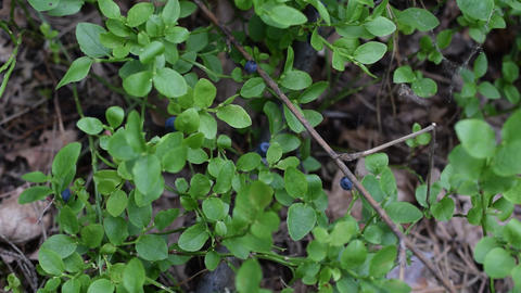 Collecting blue bilberry in forest Footage