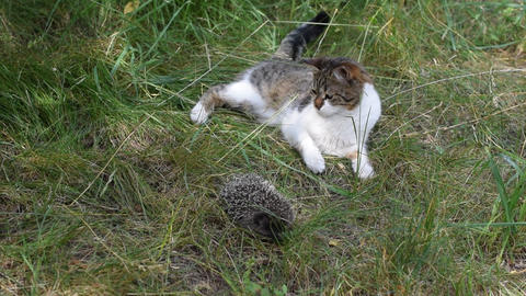 Cat plays with a curled hedgehog outdoors in green field Footage