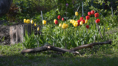 Flower bed with tulip flowers during springtime Footage