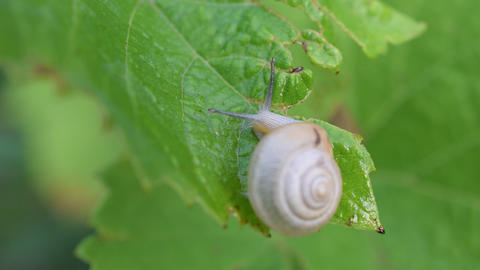 Snail in shell crawls out of frame. Macro shot Footage