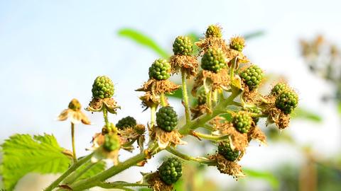 Unripe green blackberries in summer Footage