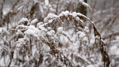 Dry goldenrod flower plant swaying in slow motion in snow Footage