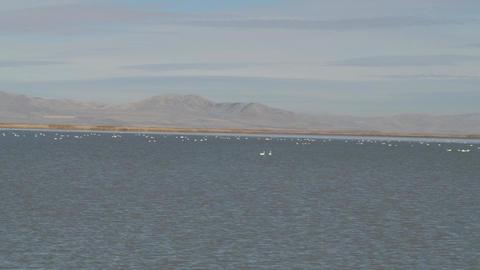 timelaps of tundra swans Image
