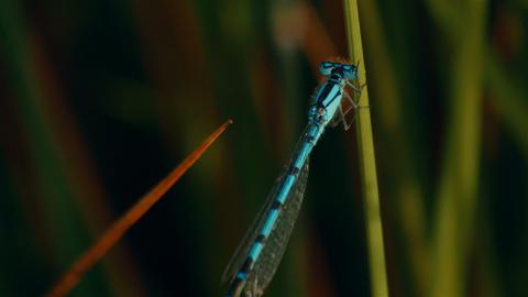 Blue damselfly in a grass blade Image