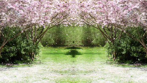 Sakura Tree Background Loop CG動画