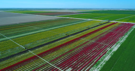 Aerial view with done of Tulip fields. Aerial of tulip field showing different Live Action